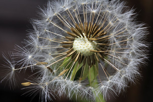 dandelion with seedsの写真素材 [FYI00685938]