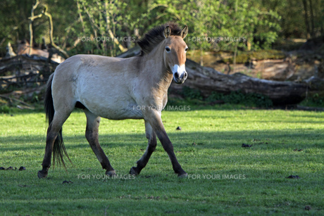 przewalski's horseの素材 [FYI00685992]