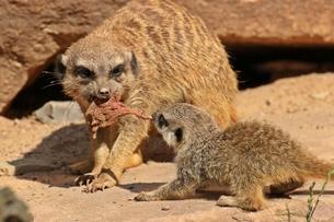 meerkats are fighting over foodの素材 [FYI00686139]