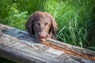flat-coated retriever puppyの写真素材 [FYI00686179]