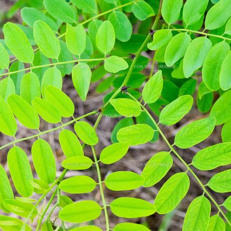fresh leaves of acaciaの素材 [FYI00686733]