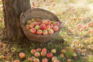 apple harvest in late summerの写真素材 [FYI00687098]