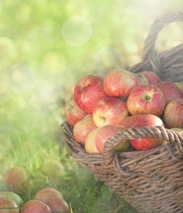 biological,sun-ripened apples in wicker basketの写真素材 [FYI00687100]