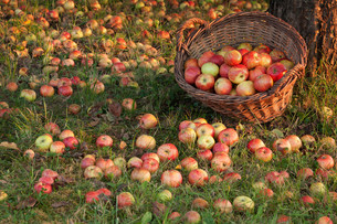 rich apple harvestの写真素材 [FYI00687103]