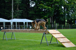 rescue dog training with airdale terrierの写真素材 [FYI00688062]