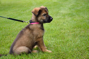 shepherd puppy sitting in the meadowの写真素材 [FYI00688249]