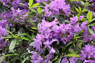 purple rhododendron flowersの写真素材 [FYI00688659]