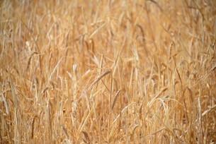 grain on the fieldの写真素材 [FYI00688706]