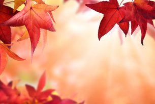 autumn background with red foliageの写真素材 [FYI00688773]