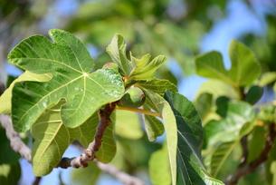 fig tree - spainの写真素材 [FYI00689047]