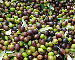 olives,freshly harvestedの写真素材 [FYI00689820]