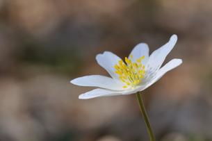 beautiful anemoneの写真素材 [FYI00690216]