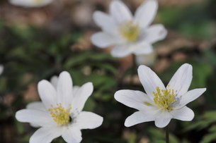 beautiful anemoneの写真素材 [FYI00690219]