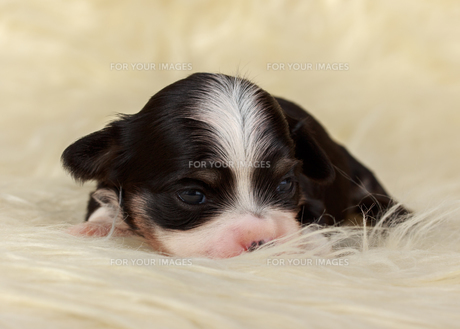 havanese puppy 14 days oldの写真素材 [FYI00690377]