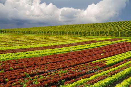 vegetableの写真素材 [FYI00691766]