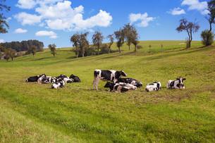 cows grazing on pastureの写真素材 [FYI00692352]