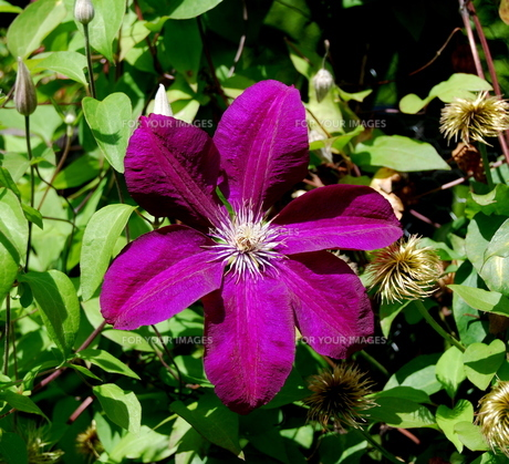clematis 'etoile violet'の素材 [FYI00694456]