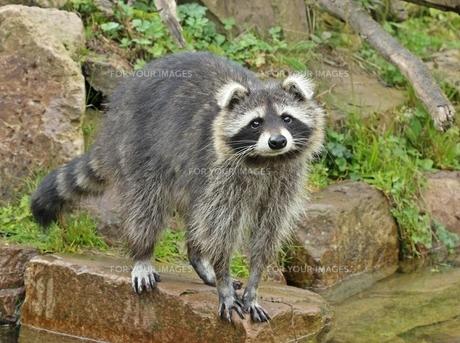 raccoon (procyon lotor) with bend ears waterfrontの素材 [FYI00695048]