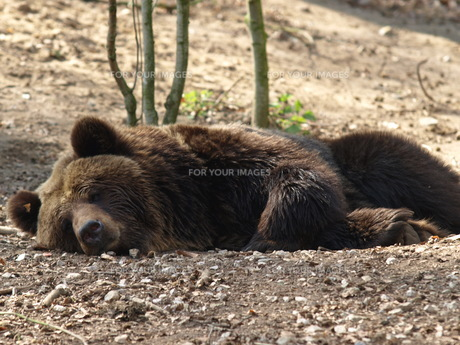 relaxed brown bearの素材 [FYI00695455]