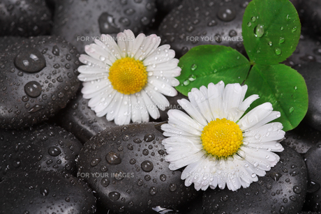 daisy on wet stonesの写真素材 [FYI00695577]