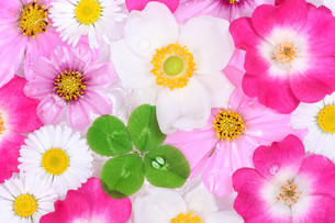 background with flowers and four-leaf cloverの写真素材 [FYI00695604]