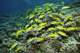 blue striped snappers over hard coral in the south seasの写真素材 [FYI00696359]