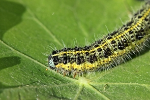 caterpillar of the great cabbage white (pieris brassicae) on nasturtium (tropaeolum majus)の写真素材 [FYI00696582]