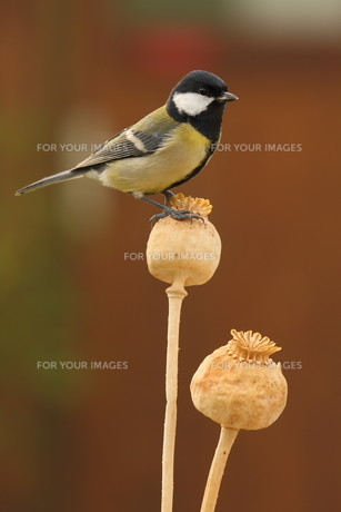 great tit parus major on a mohnkapselの写真素材 [FYI00696829]