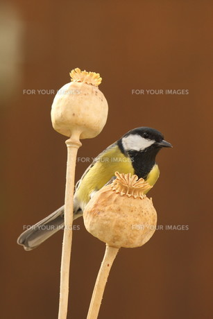 great tit parus major on a mohnkapselの写真素材 [FYI00696830]