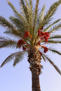 date palm in spainの写真素材 [FYI00697077]