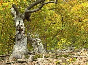 800th sessile oak (quercus petraea) ederseeの素材 [FYI00697222]