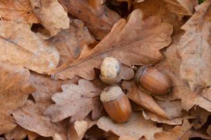 oak with acornsの写真素材 [FYI00697681]