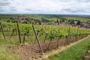 vineyard near pleisweiler-oberhofenの写真素材 [FYI00697746]