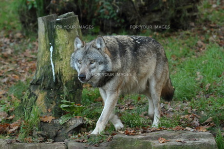wolfの写真素材 [FYI00698577]
