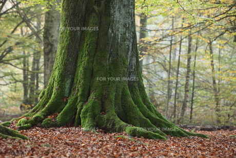 old trees in the national park reinhardswaldの写真素材 [FYI00698662]