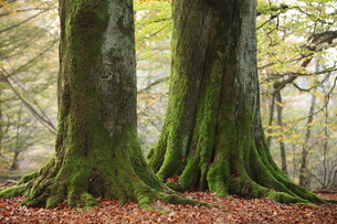 old trees in the national park reinhardswaldの写真素材 [FYI00698664]
