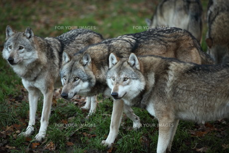 wolfの写真素材 [FYI00698665]