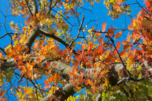 autumn leaves of red oakの写真素材 [FYI00698796]
