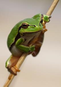 common tree frog - [hyla arborea]の写真素材 [FYI00698968]
