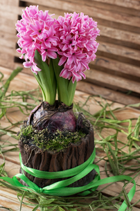 green sprout hyacinth flower in flowerpotの写真素材 [FYI00699672]