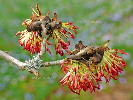 flowers at ironwood tree parrotiaの素材 [FYI00699922]