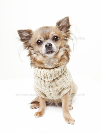 chihuahua with wool sweaterの素材 [FYI00700496]