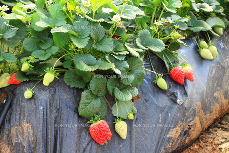 strawberries in the greenhouse farmingの素材 [FYI00701030]