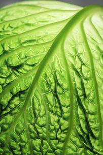 savoy cabbageの写真素材 [FYI00701408]