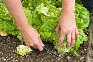 lettuce harvest / lifting saladの写真素材 [FYI00701838]