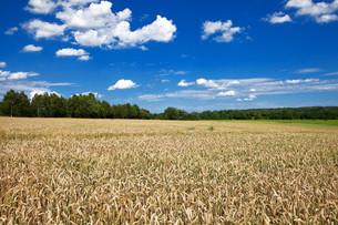 corn field - corn field under blue skyの素材 [FYI00701948]