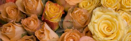 rosesの写真素材 [FYI00702052]