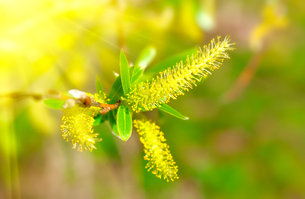 macro shot of blooming willow tree. salix caprea. summertimeの写真素材 [FYI00702170]