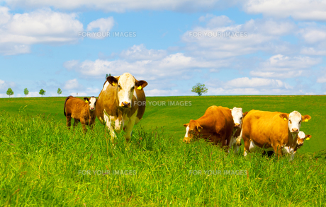 cow on a green pastureの写真素材 [FYI00702179]