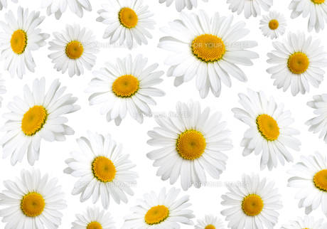 chamomile flowers texture,on a white backgroundの写真素材 [FYI00702191]